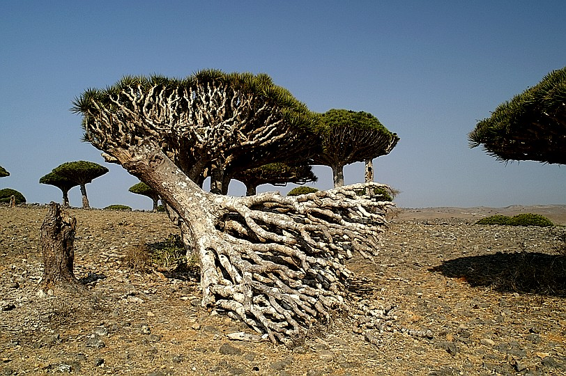 Arbres hors du commun Socotra139